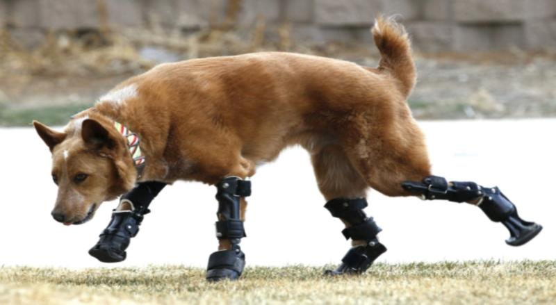 Šuo vaikšto bioninių kojų dėka